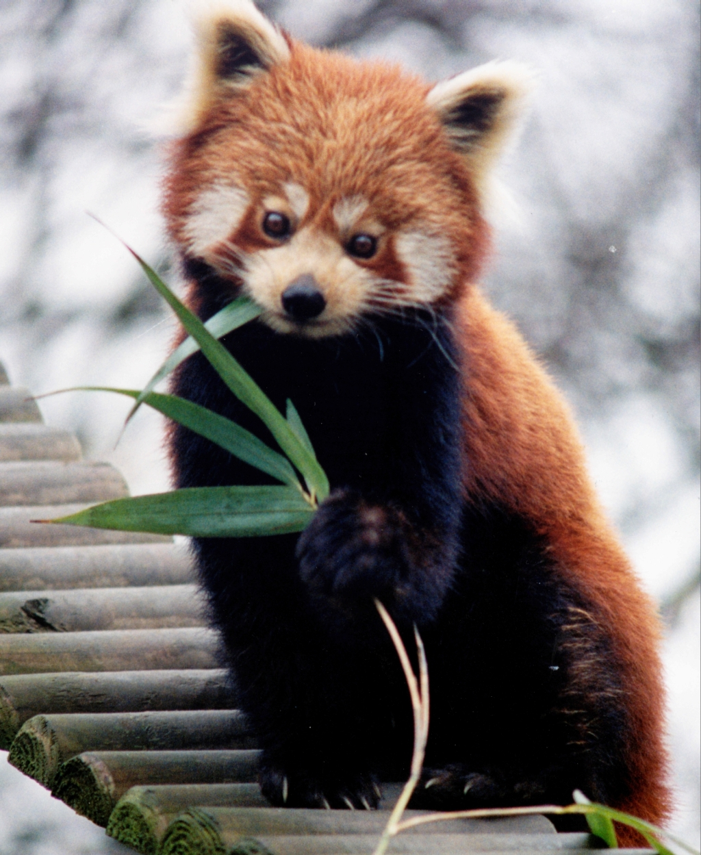 Red panda and giant panda genomes show convergent evolution | Ars