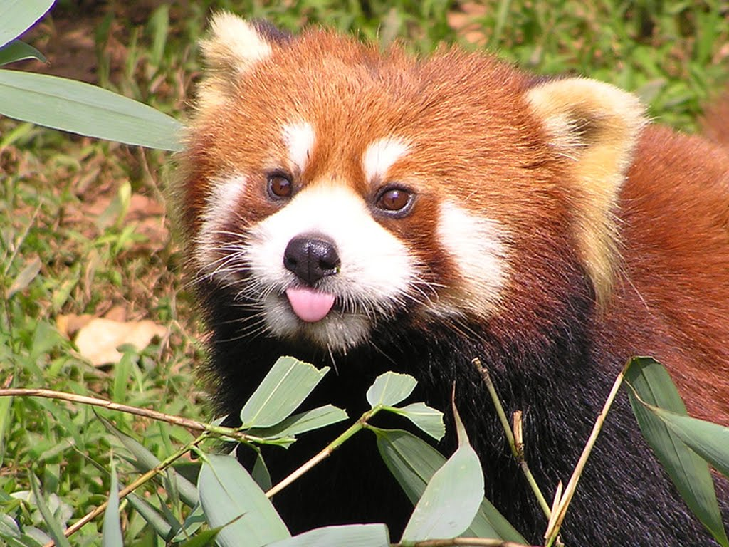 Funny red panda compilation - YouTube