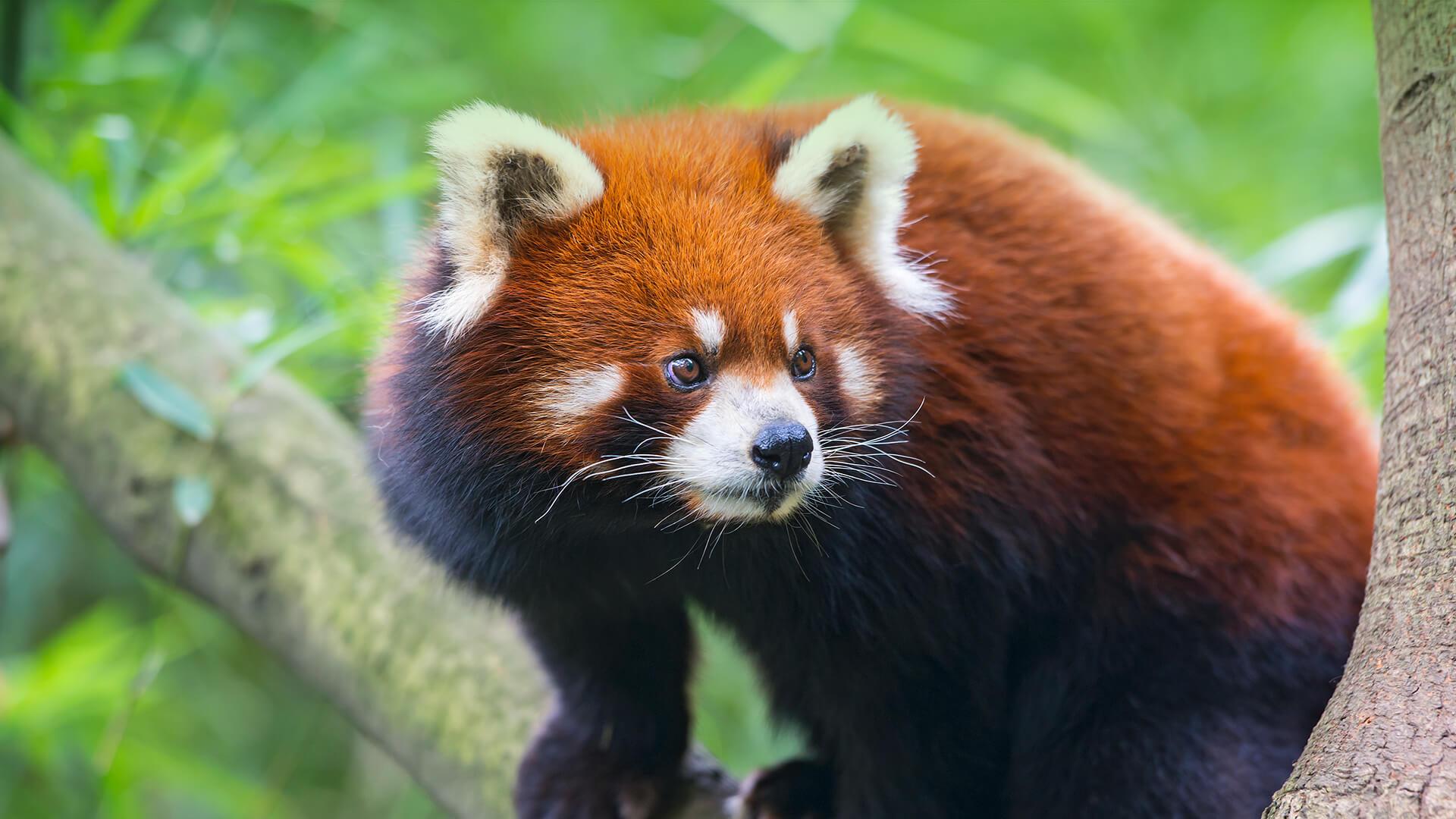 Red Panda | San Diego Zoo Animals & Plants