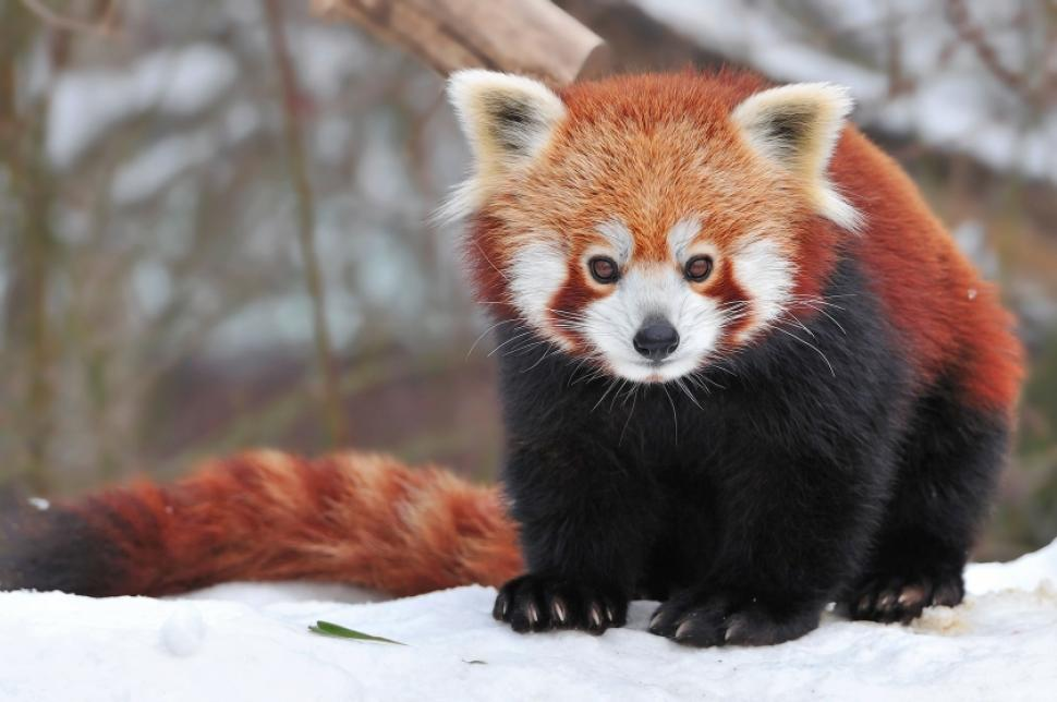The acrobatic Red panda – The Cutest
