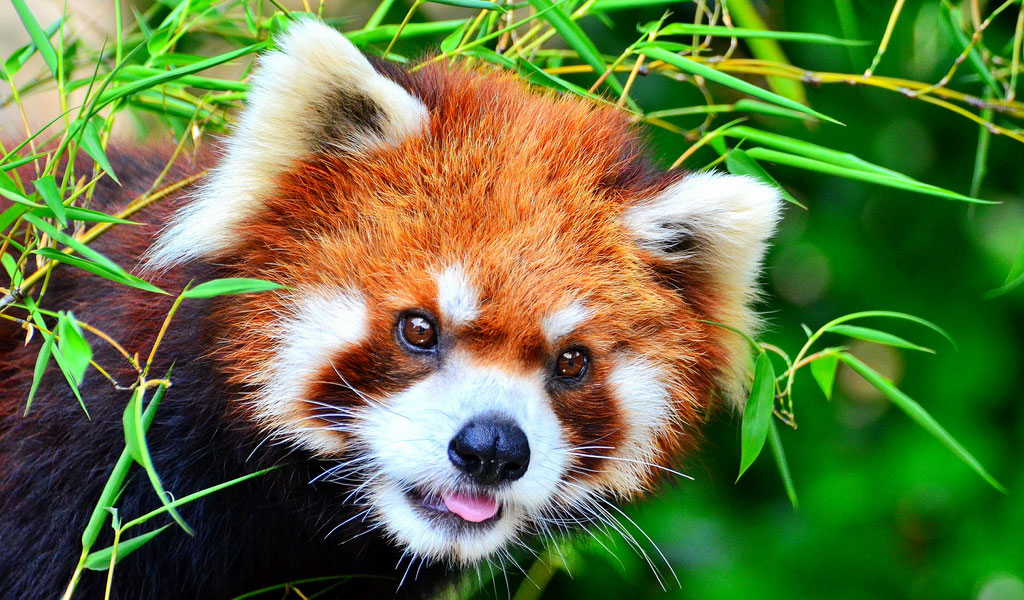 Red Pandas - Facts, Diet & Habitat Information
