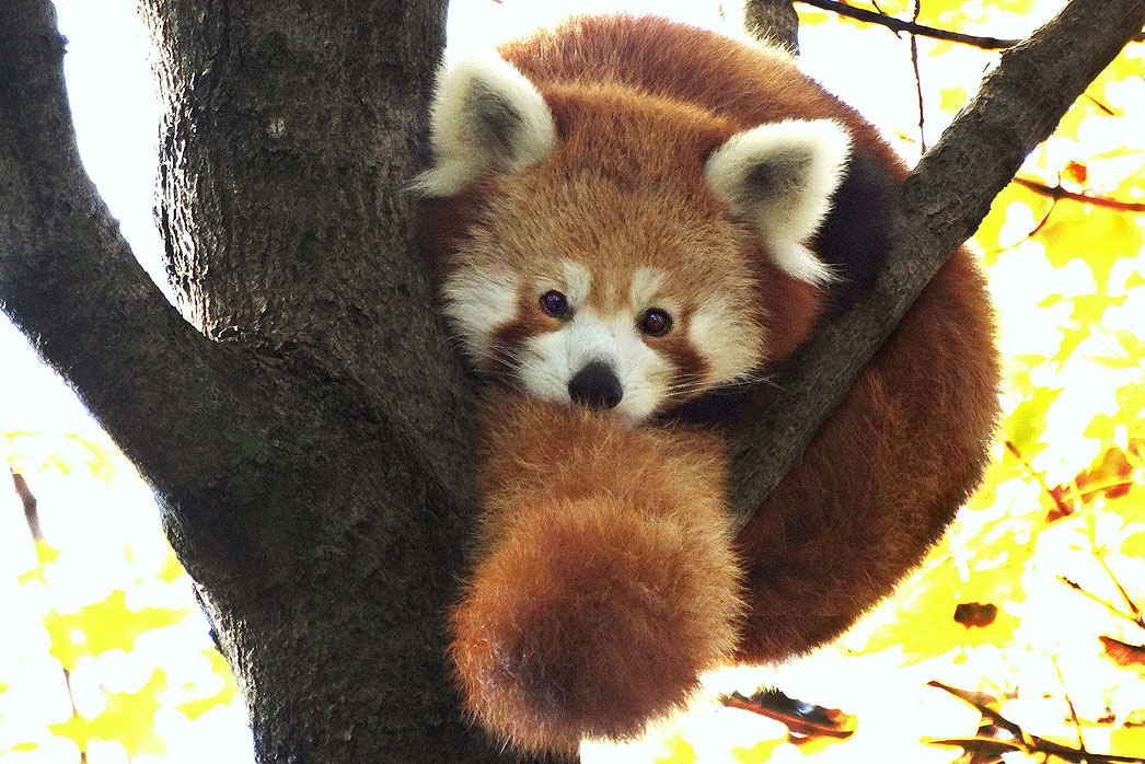 Red panda - Detroit Zoo