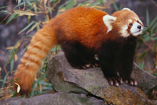 Red Panda Photos | Animal Planet