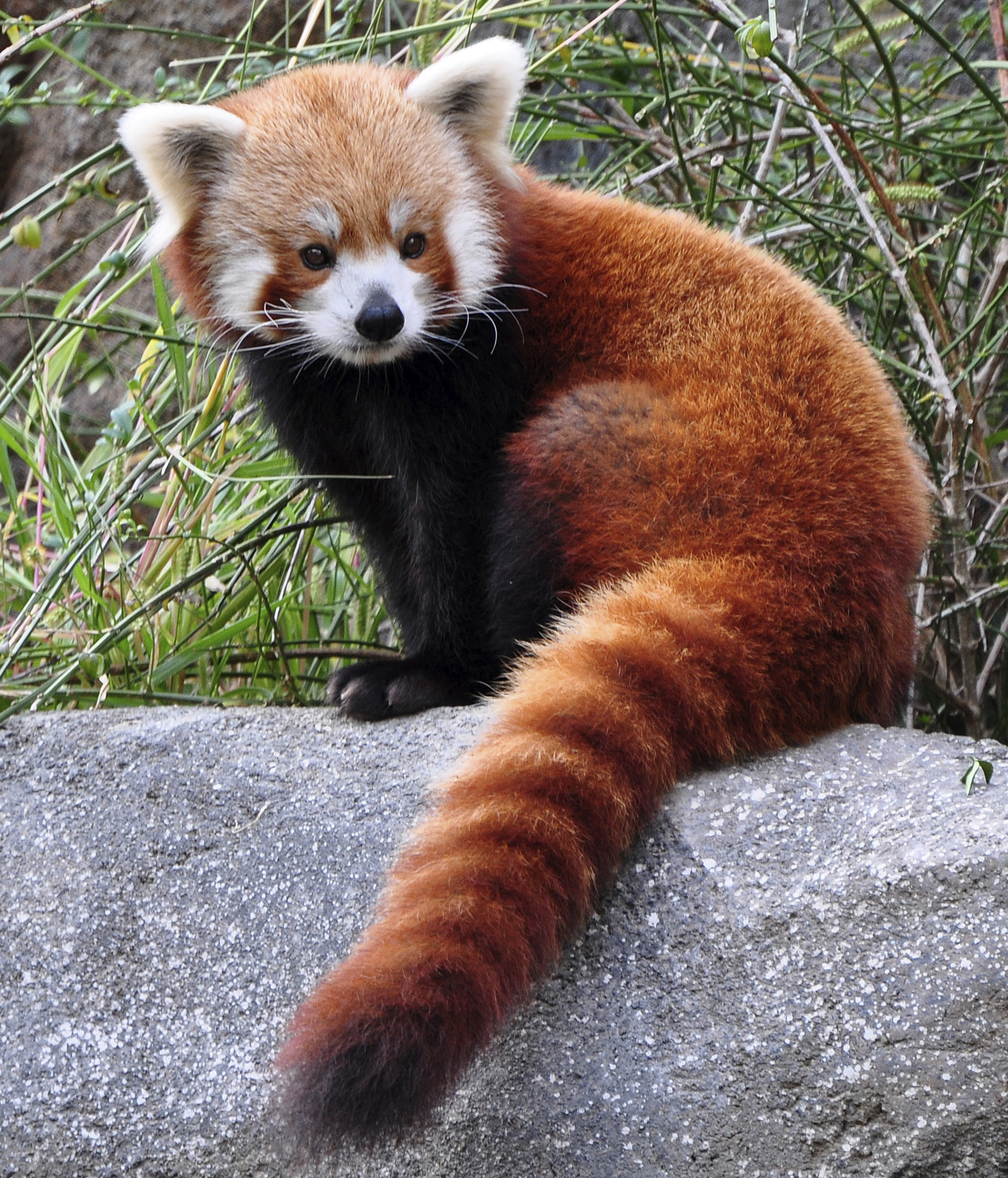 1000+ images about Red Panda on Pinterest | Felted jewelry, Cherry