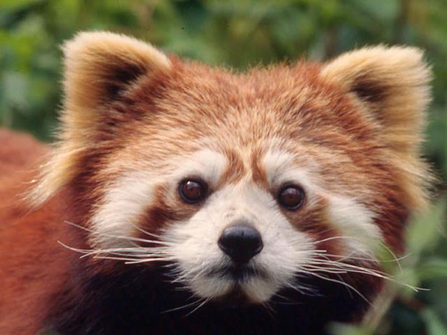 Red Panda | Species | WWF