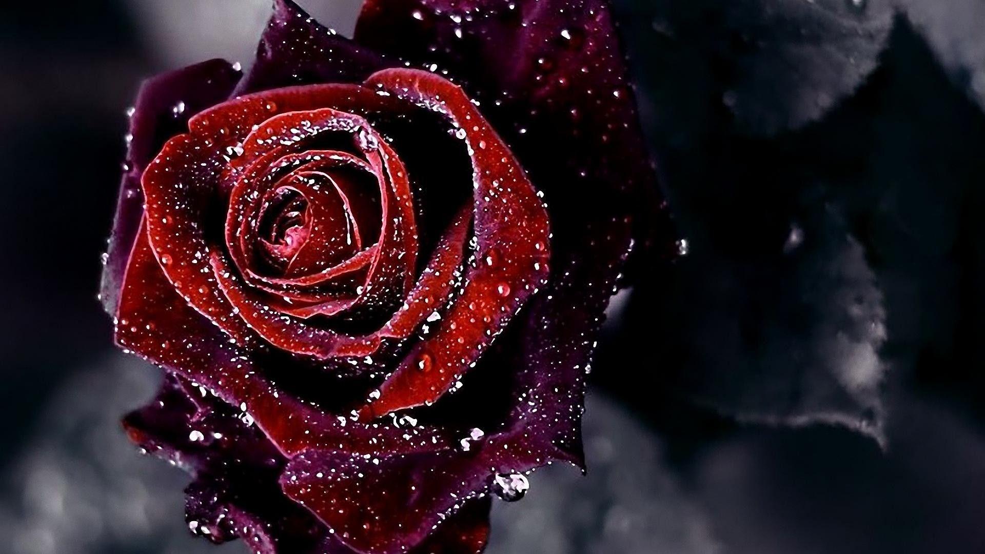 Red Rose Wallpapers Free Download Sf Wallpaper