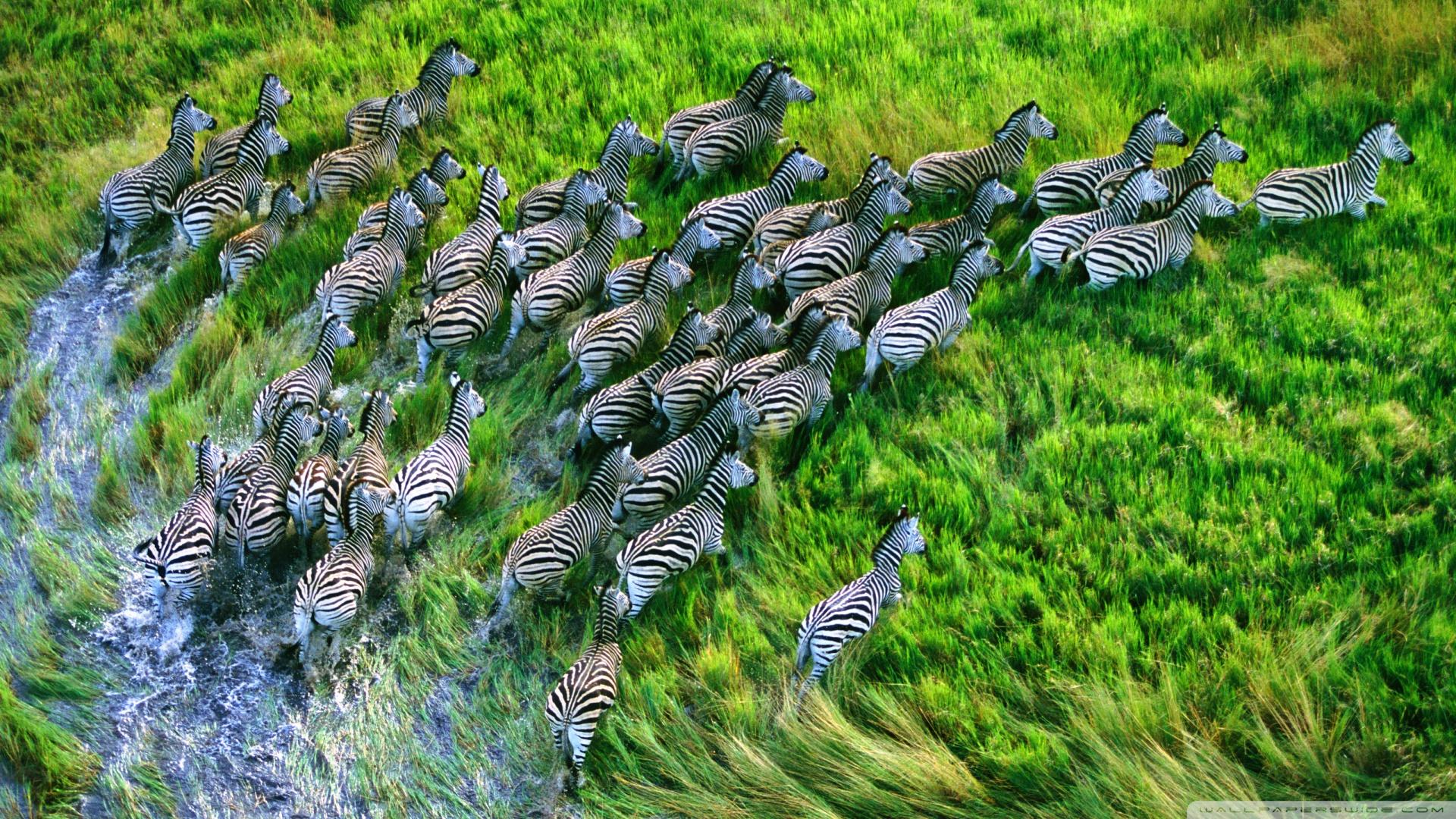 Mac Os X Retina Zebras HD desktop wallpaper : High Definition