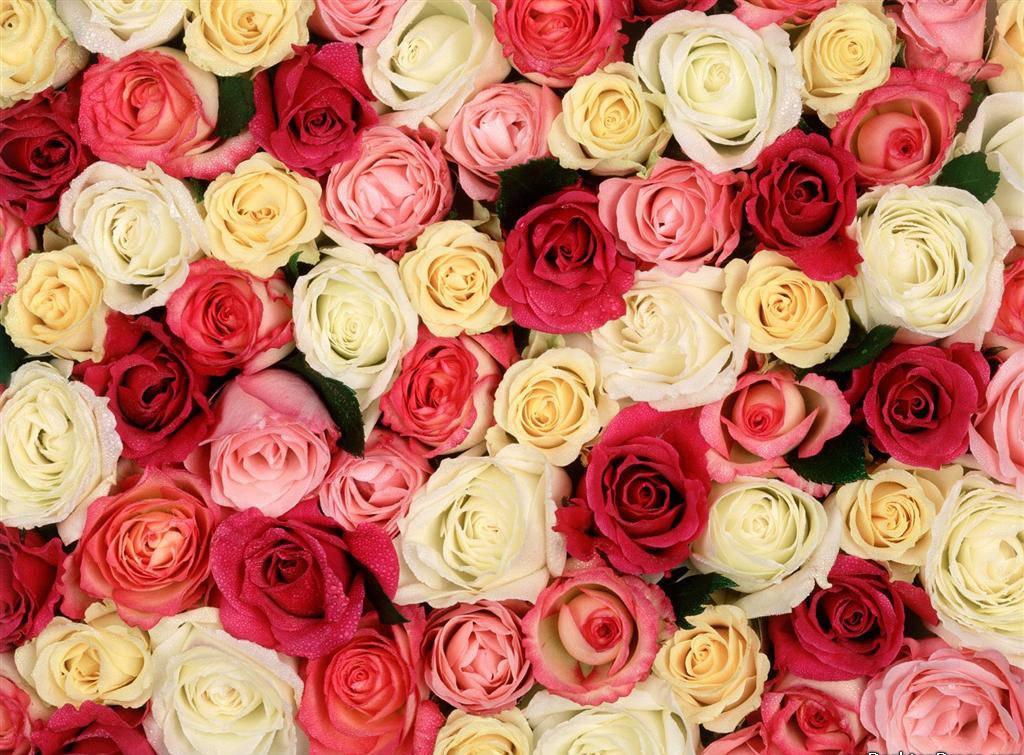 Roses Background Wallpaper Sf Wallpaper