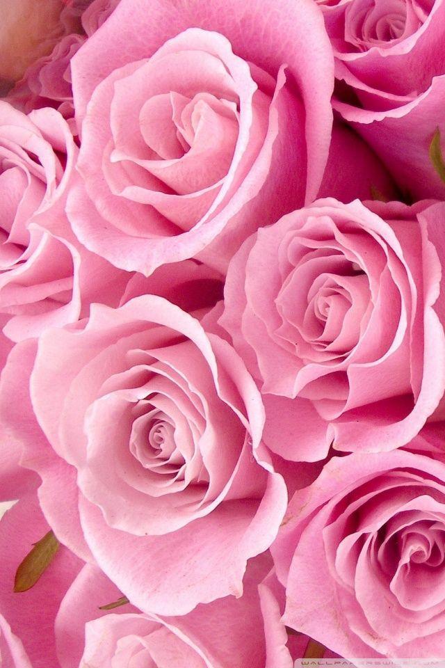 Rose Wallpaper Iphone Sf Wallpaper