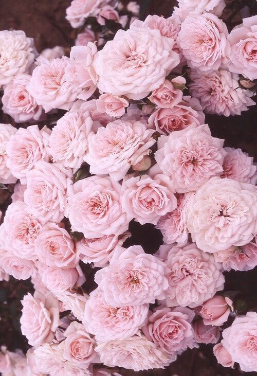 Rose Wallpaper Iphone Sf Wallpaper