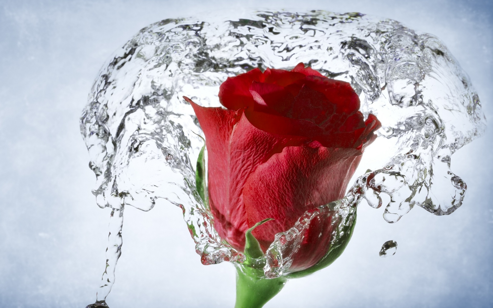Rose With Water Drops Wallpapers Group 78