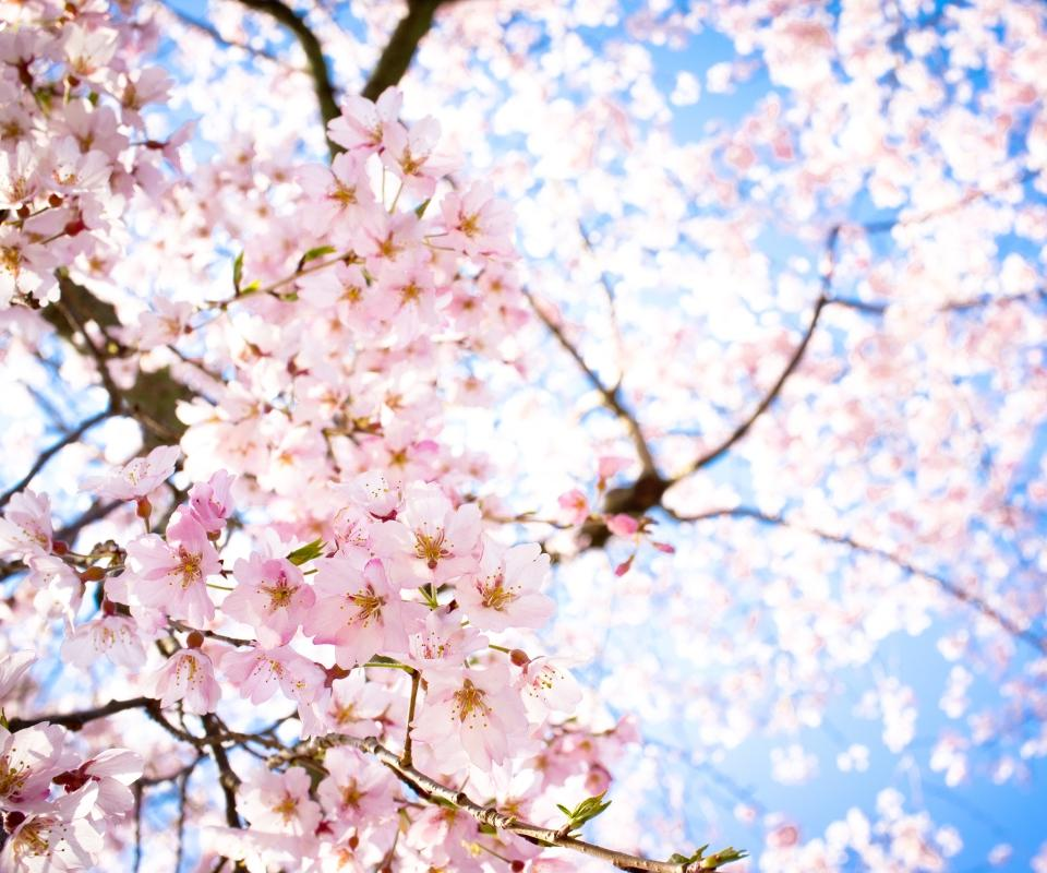 Sakura Wallpaper Sf Wallpaper