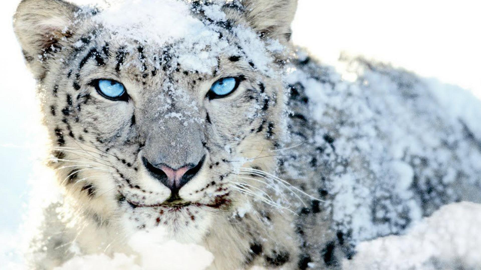 Snow Leopard Wallpaper Sf Wallpaper