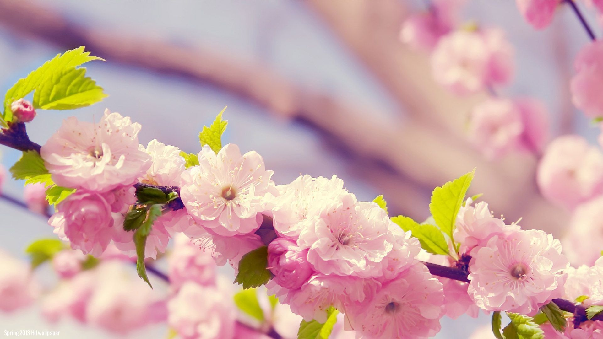 Spring flowers wallpaper backgrounds sf wallpaper spring flowers backgrounds desktop wallpaper cave mightylinksfo