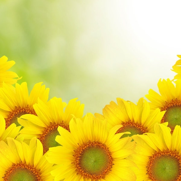 381 Sunflower HD Wallpapers ...