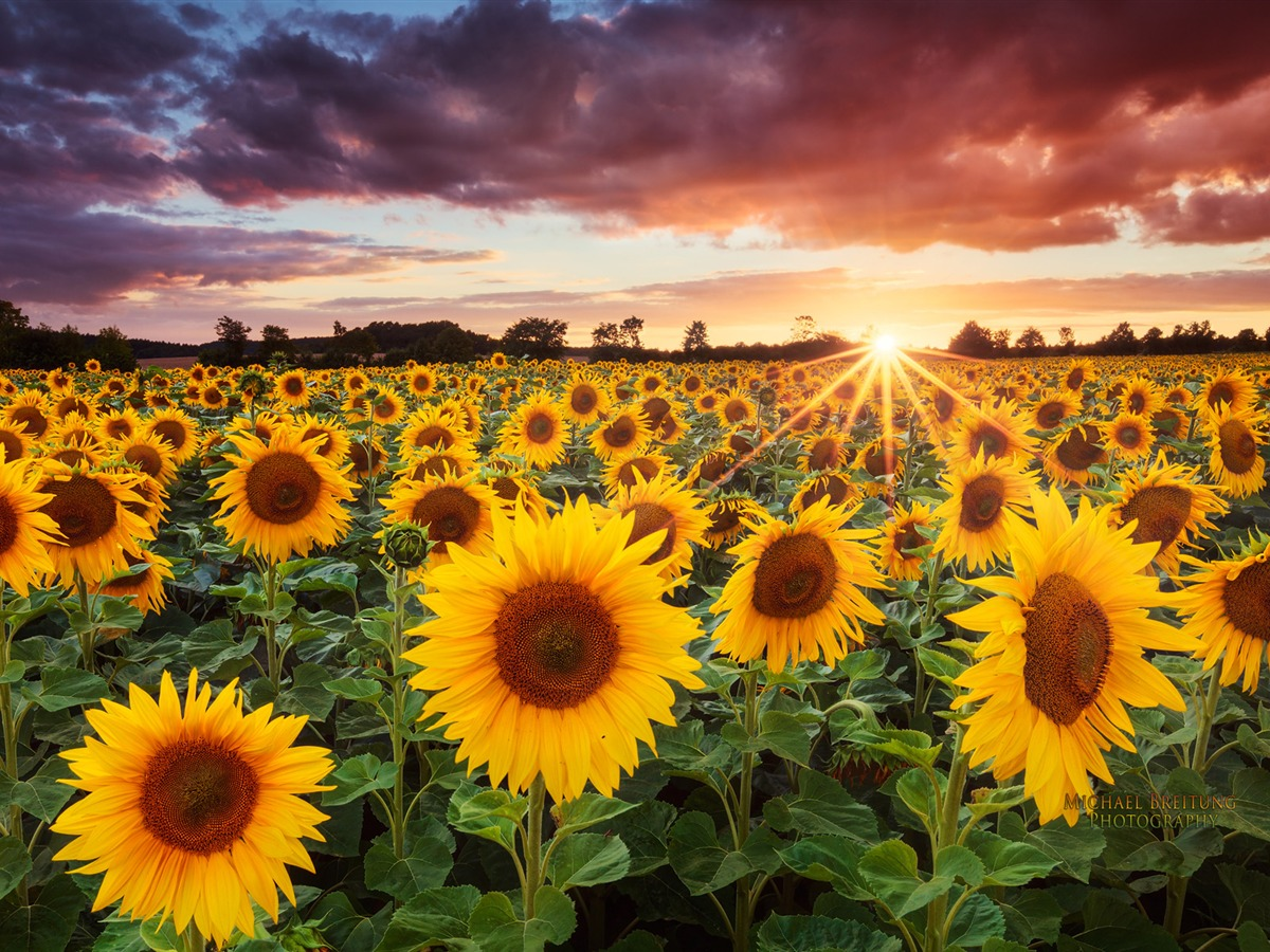 Sunflower Background - WallpaperSafari