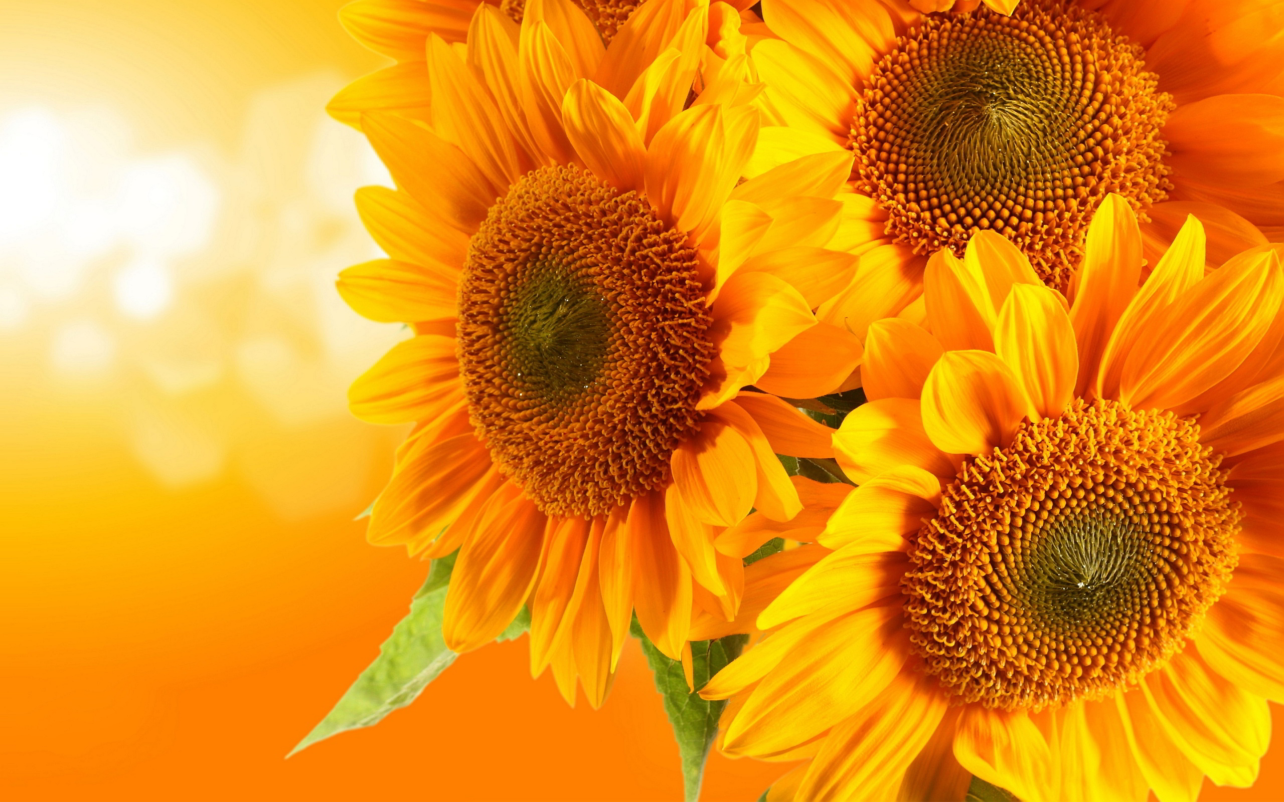 381 Sunflower HD Wallpapers | Backgrounds - Wallpaper Abyss