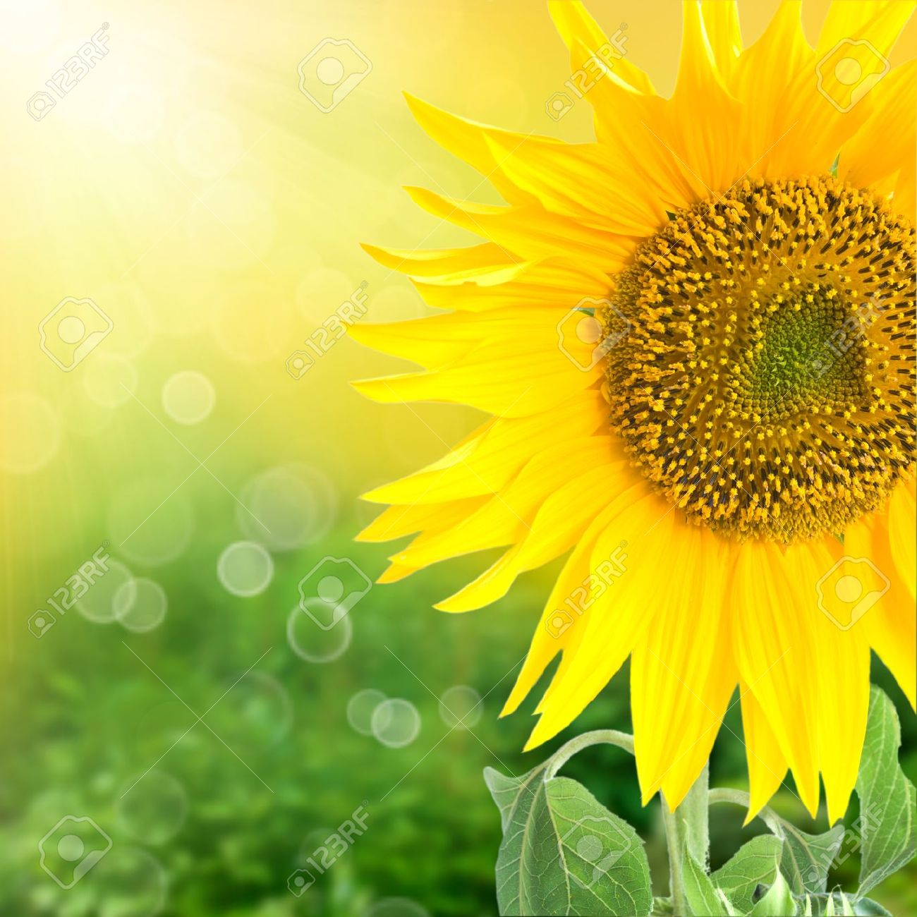 Sunflower Field Images & Stock Pictures  Royalty Free Sunflower