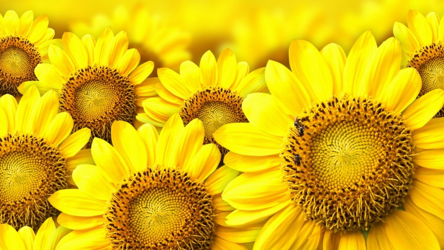 Yellow Sunflower Background : Wallpapers13 com