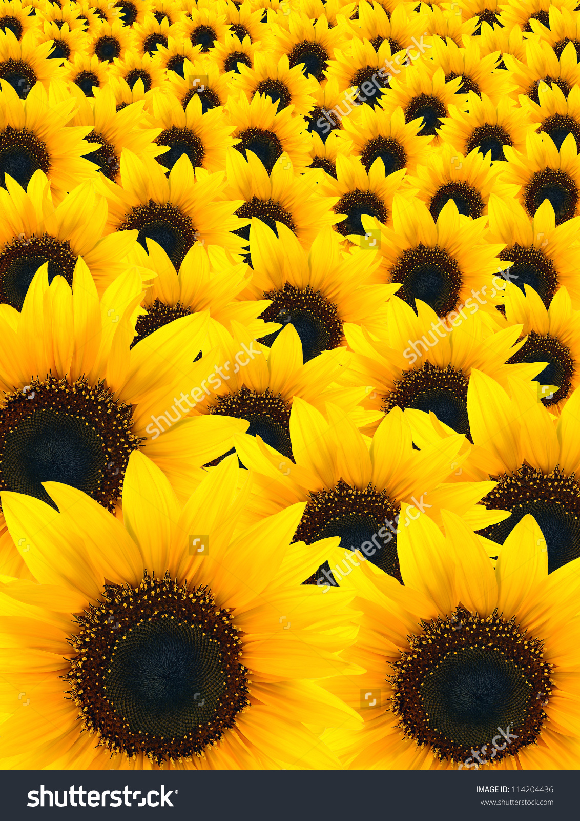 Beautiful Sunflower Background Stock Photo 114204436 - Shutterstock