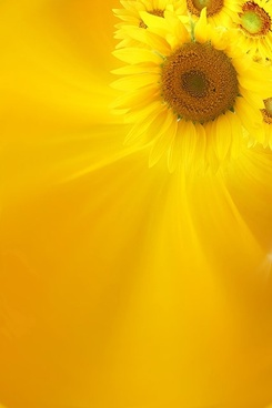 Sunflower background free stock photos download (8,627 Free stock