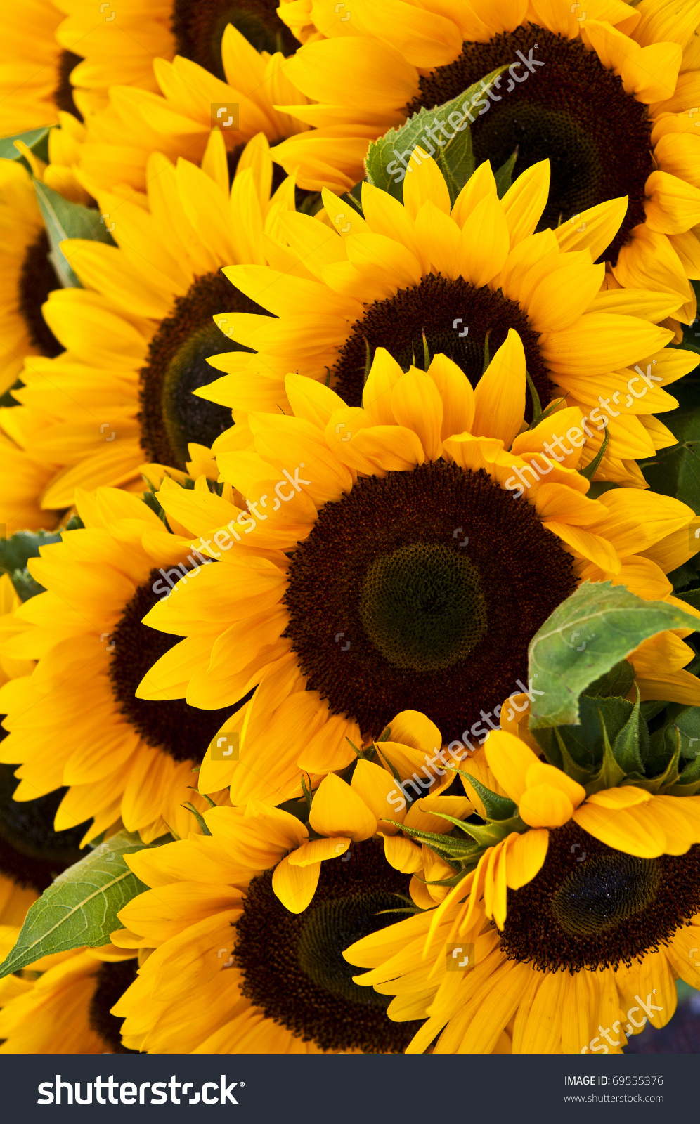 Sunflower Background Stock Photo 69555376 - Shutterstock