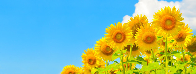 "Search photos ""sunflower background"""