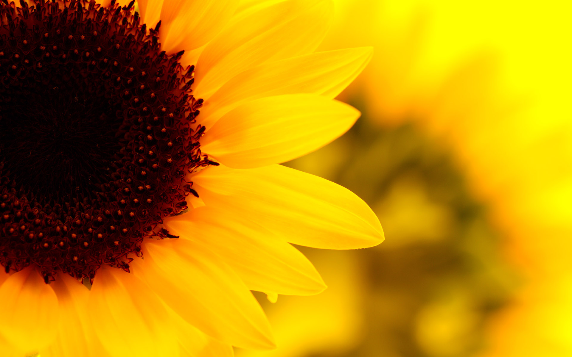 Sunflower Backgrounds Pictures Group (36+)