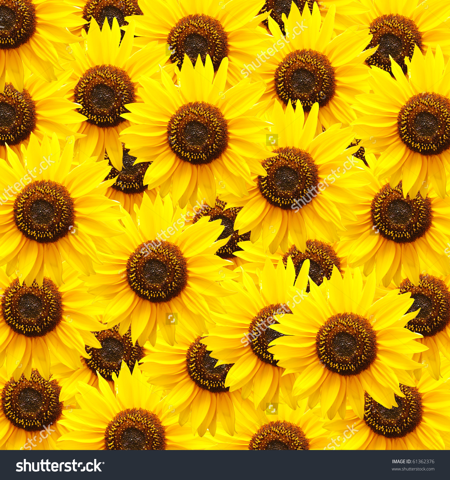Sunflower Background Stock Photo 61362376 - Shutterstock