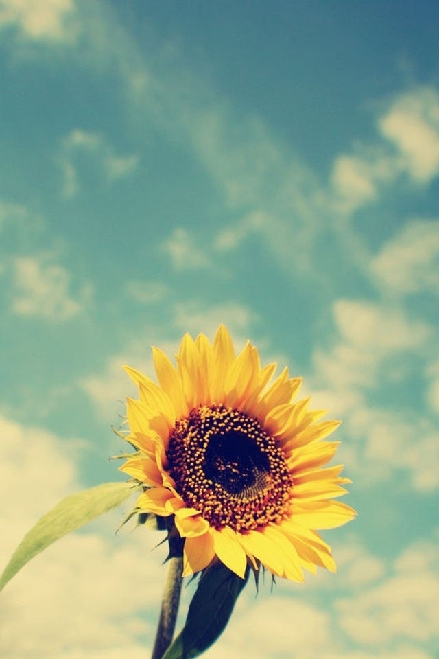 1000 Ideas About Sunflower Wallpaper On Pinterest
