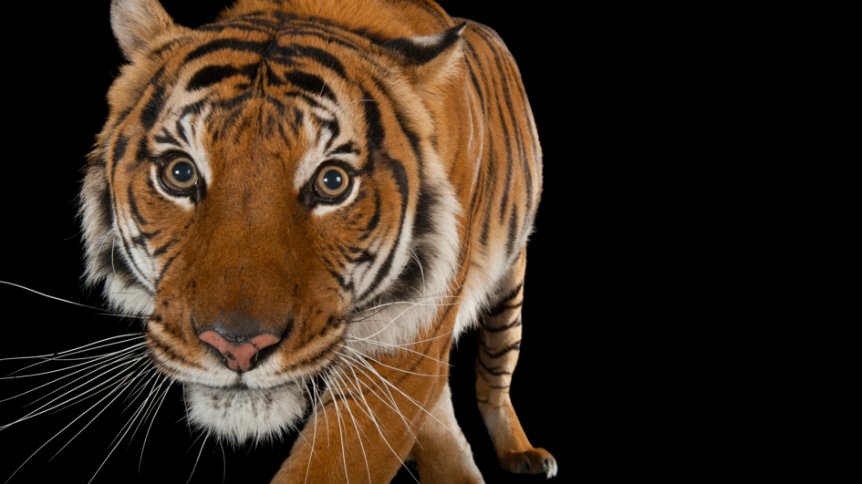 photoark-tiger png adapt 945 1 jpg