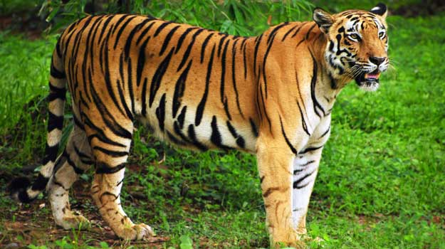 22 Very Amazing Facts About Tigers - Pets - Nigeria