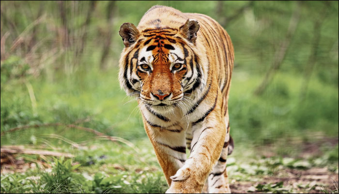 Tiger - Latest News on Tiger | Read Breaking News on Zee News