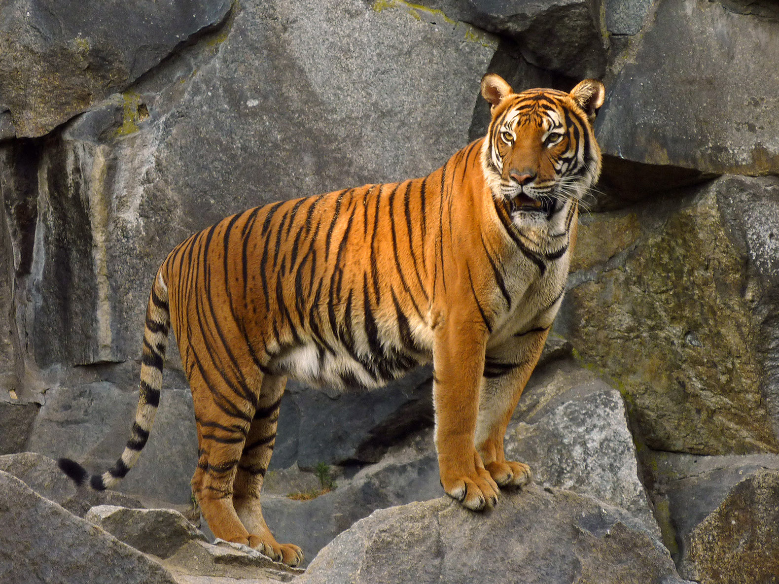 Tigers declared extinct in Cambodia | Inhabitat - Green Design