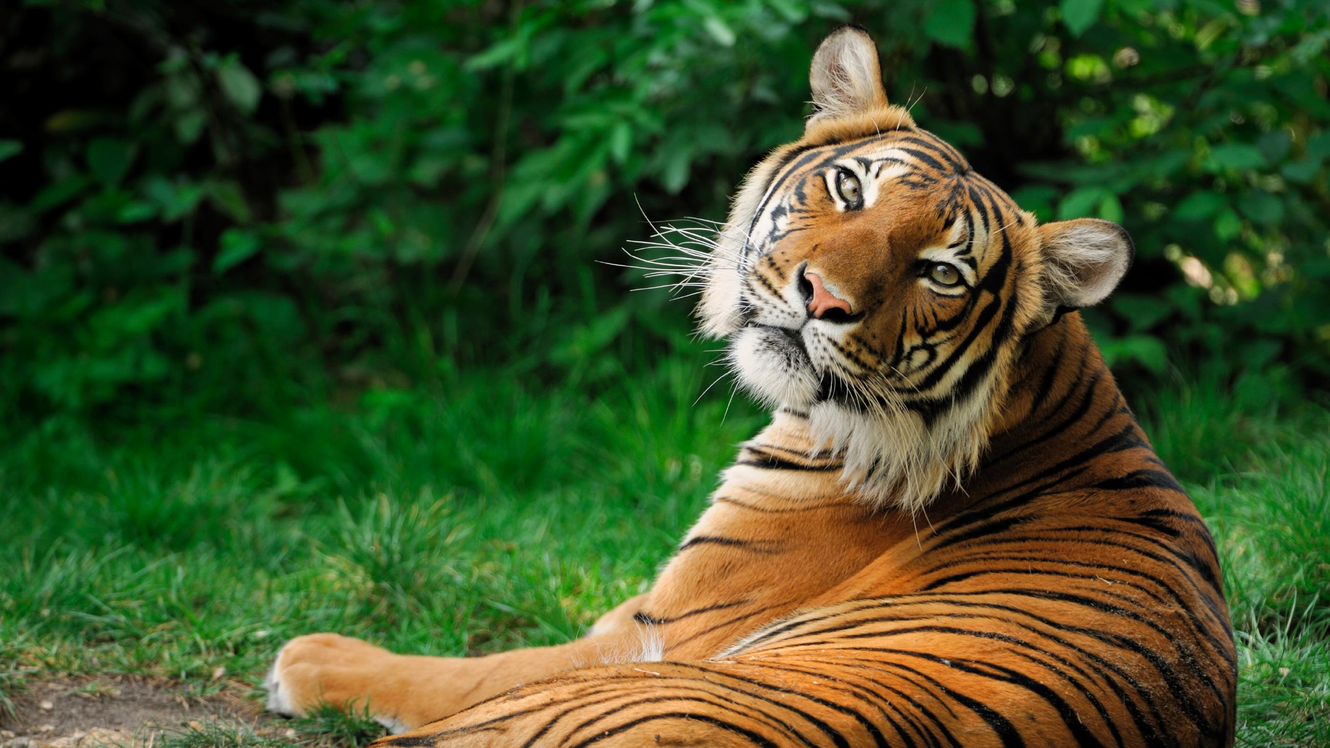 siberian-tiger-profile jpg