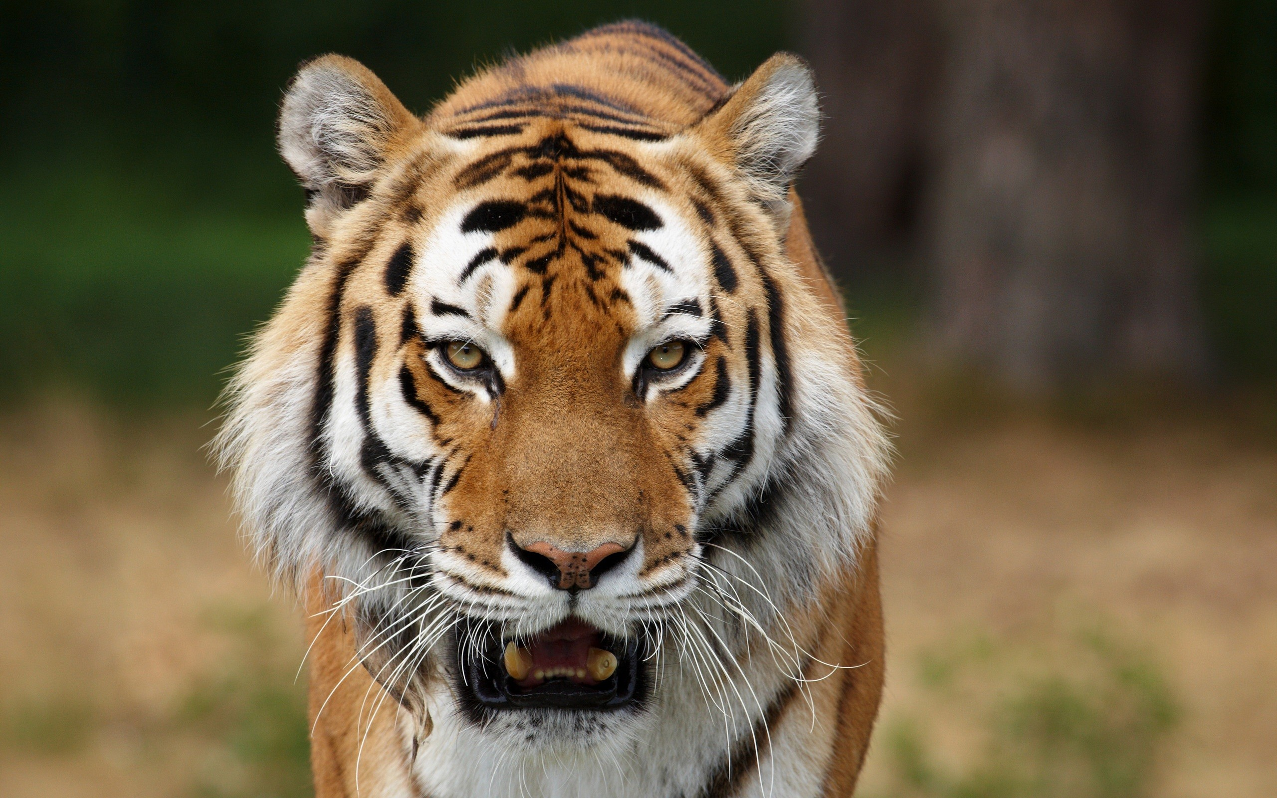 10 Unusual Tiger Facts - Facts about Tigers