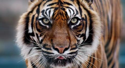 Tiger | Basic Facts About Tigers | Defenders of Wildlife