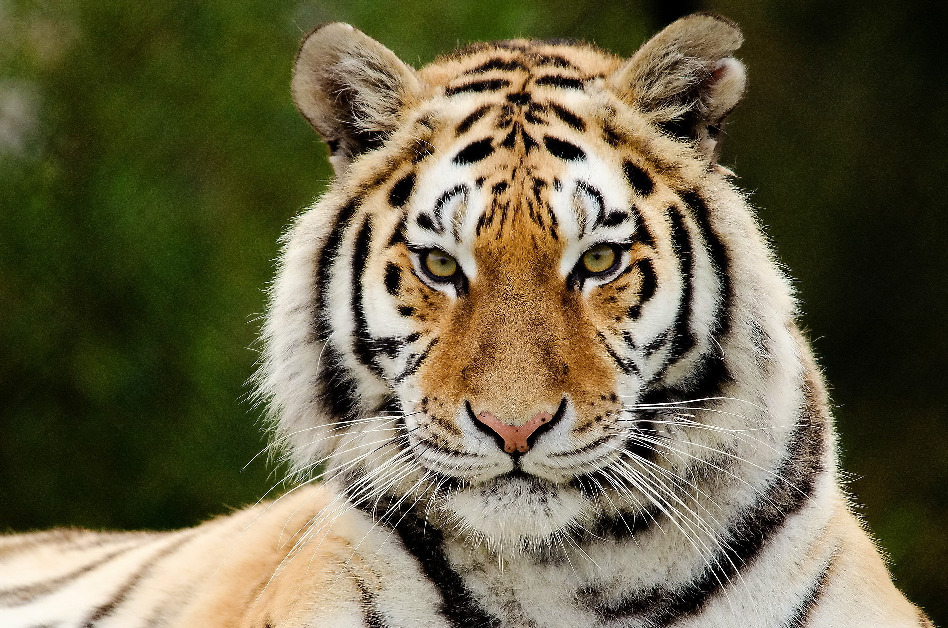 Tiger Facts, History, Useful Information and Amazing Pictures
