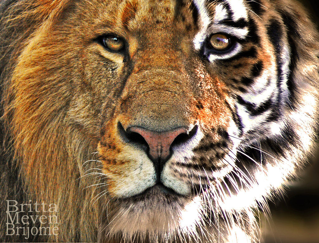 Lion and Tiger Wallpaper – Free wallpaper download