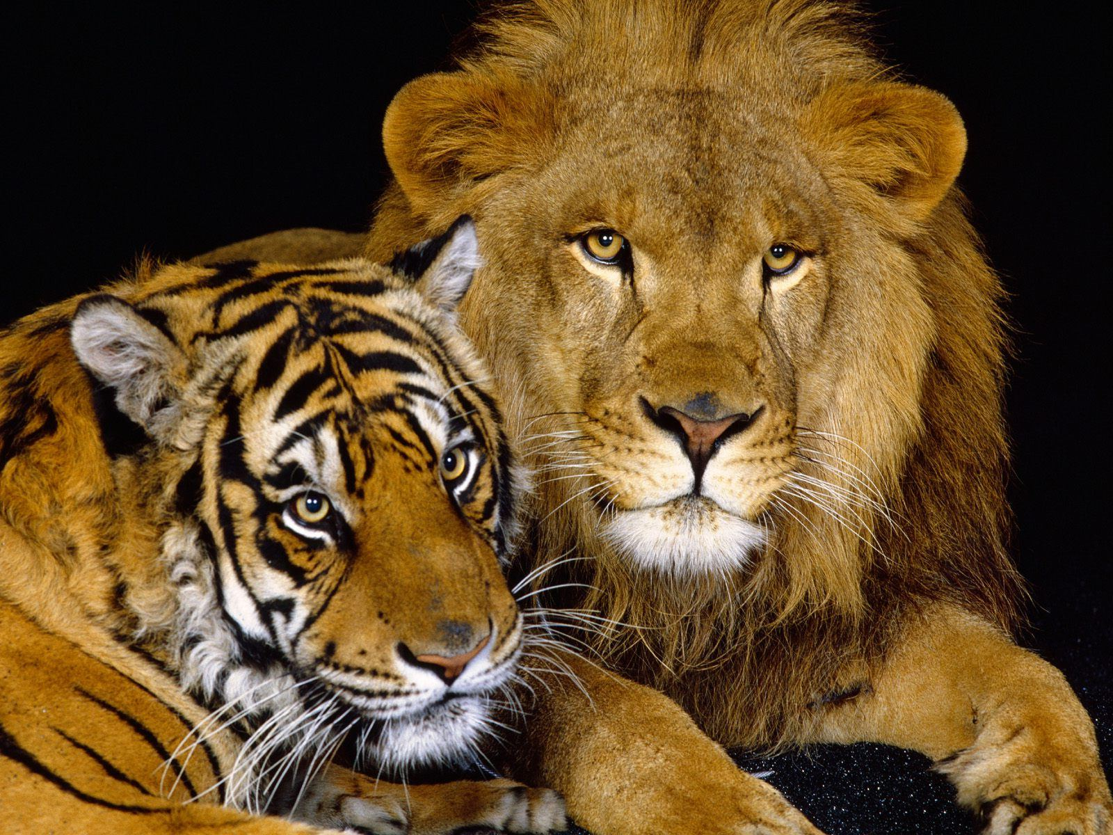 tiger and lion wallpaper #22