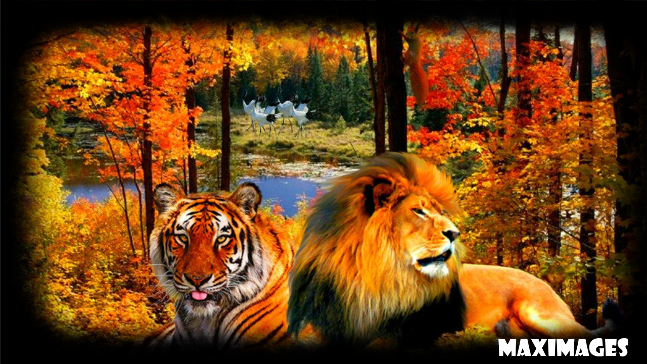 tiger and lion wallpaper #16