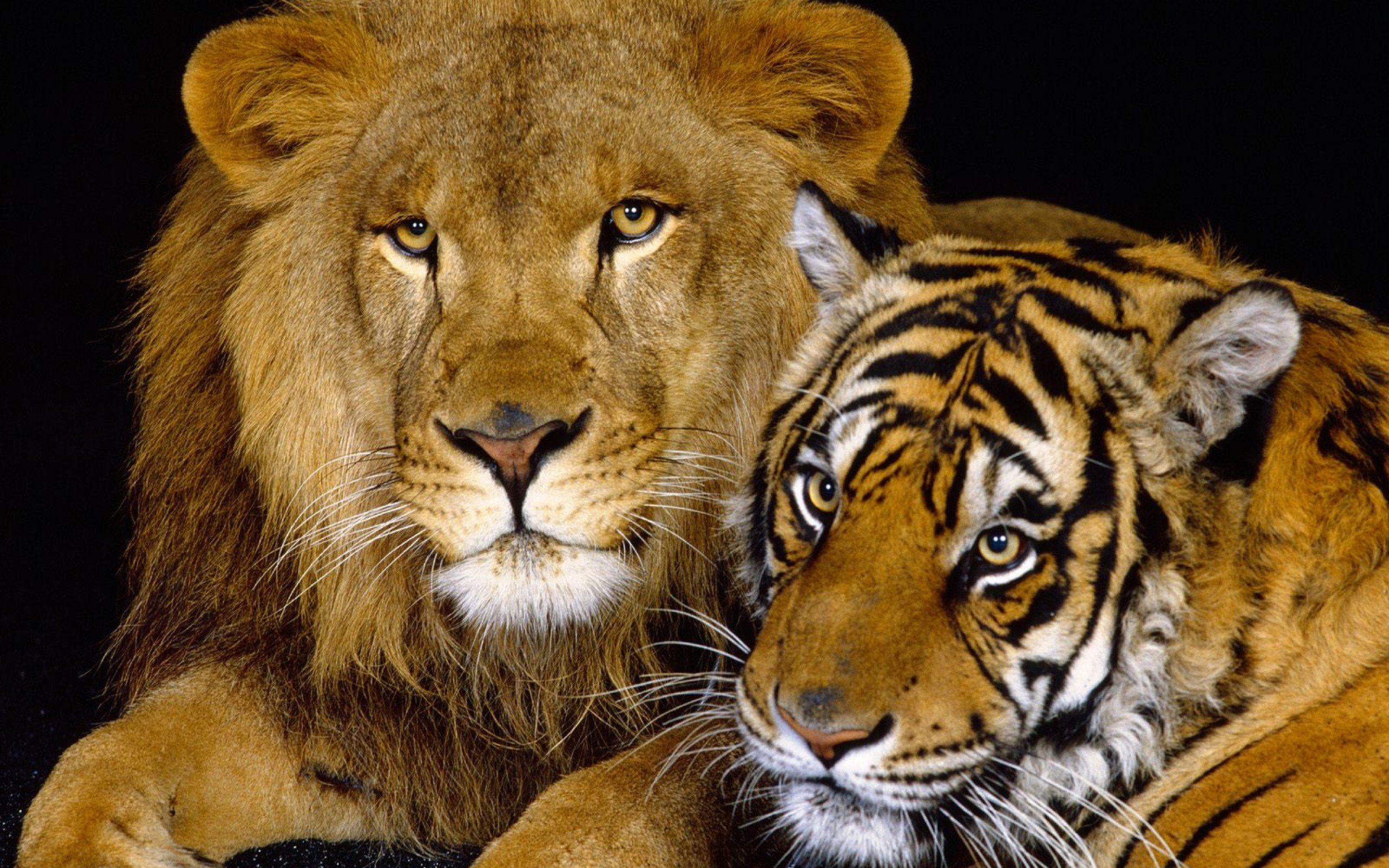tiger and lion wallpaper #5