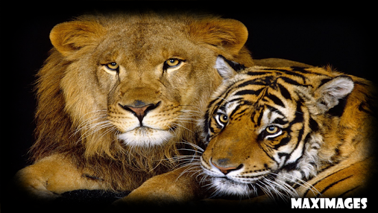tiger and lion wallpaper #4