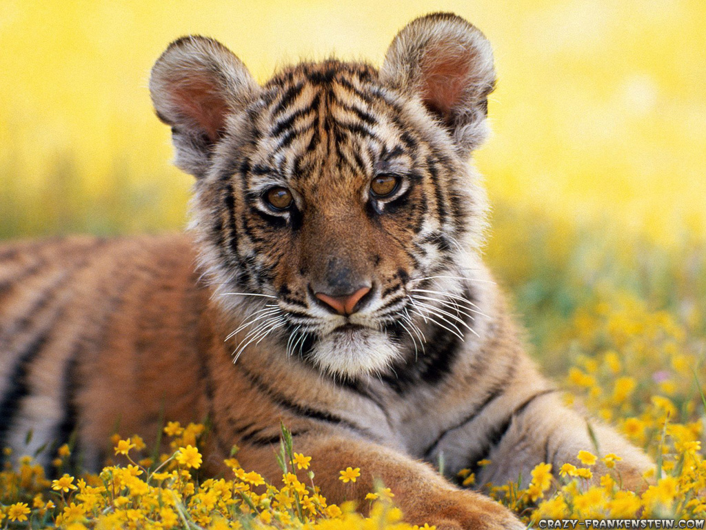 Collection of Baby Tigers Wallpaper on HDWallpapers