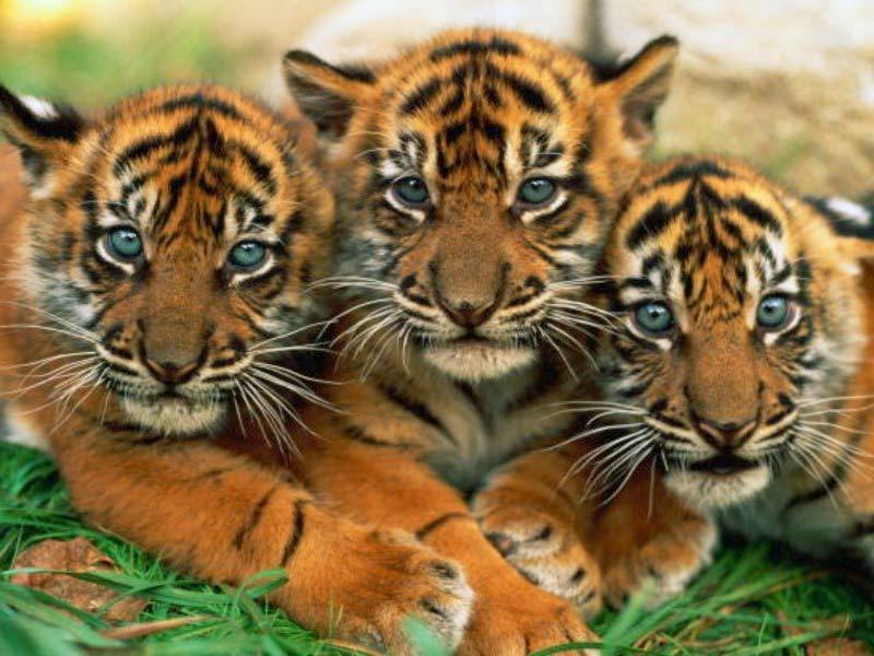 Baby Tiger Image #14993 Wallpaper | High Resolution Wallarthd com