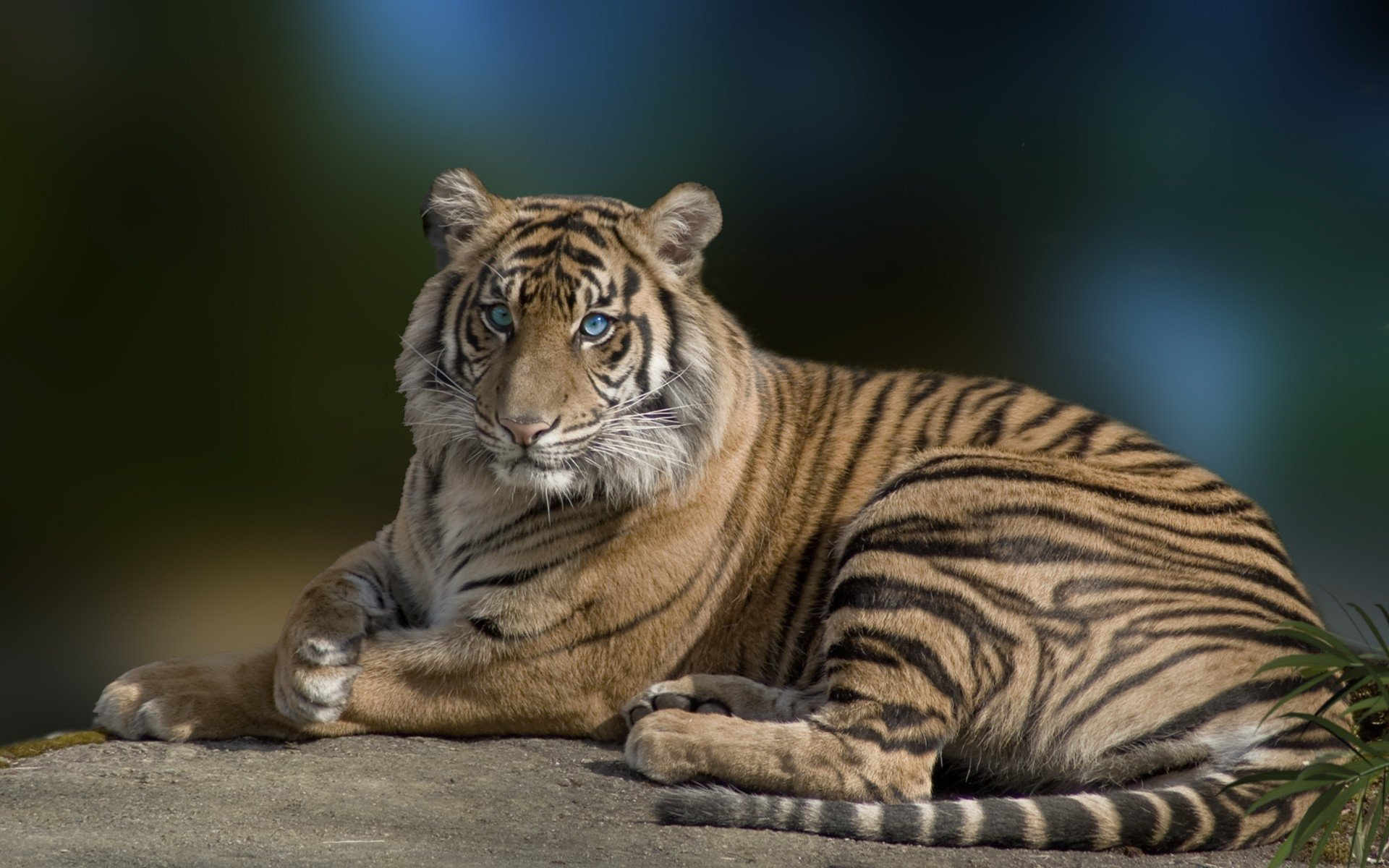 1185 Tiger HD Wallpapers | Backgrounds - Wallpaper Abyss