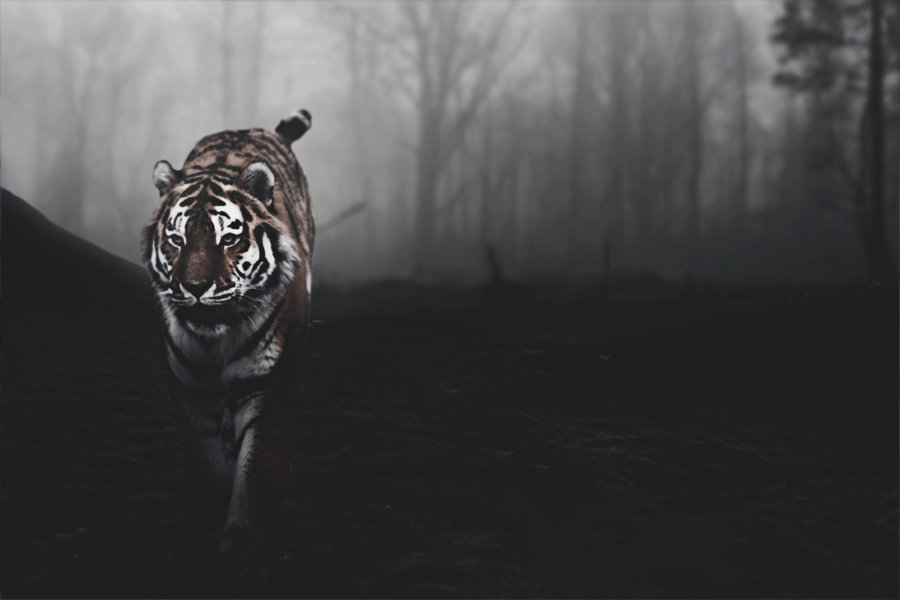 tiger background pictures #12
