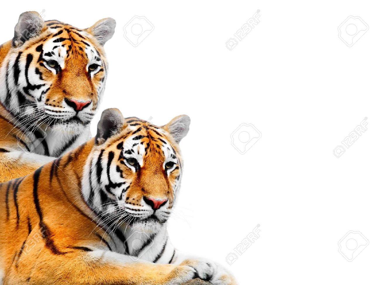 56 background tiger Pictures