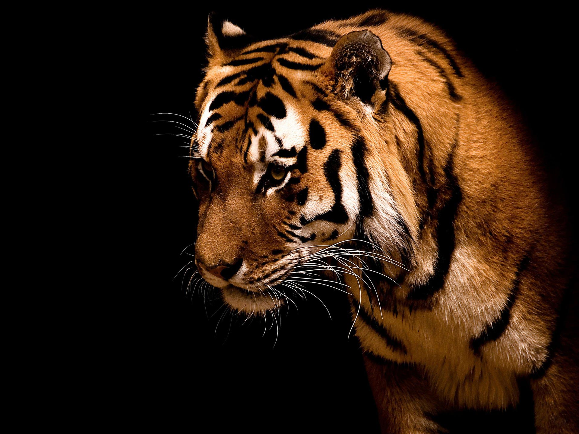 tiger hd wallpaper for desktop #14