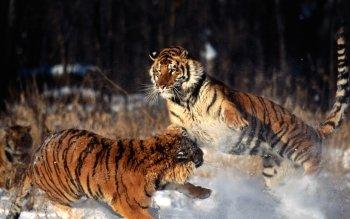 tiger background wallpaper #4